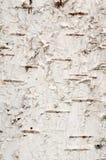 Texture of birch stock photo