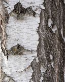 Texture of birch bark Stock Photography