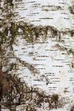 Texture of birch bark. Background for design stock photo