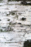 Texture of birch bark. Background of birch wood. White birch royalty free stock photo