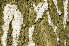 Birch bark texture royalty free stock images
