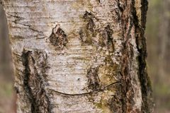 Texture of birch bark close-up. Drawing birch bark. Funny face. stock image