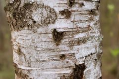 Texture of birch bark close-up. Drawing birch bark. Element heart. royalty free stock photos
