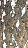 Texture of birch bark Royalty Free Stock Image