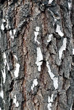 Texture of birch bark Stock Image