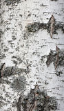 Texture of birch bark, closeup Stock Photo