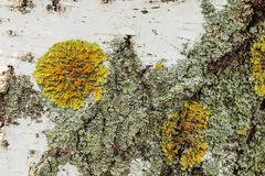 Texture of birch bark covered with lichen Royalty Free Stock Image