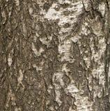 Texture of birch bark Stock Photo