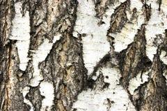 The texture of the birch stock photos