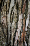 The texture of the birch Stock Image