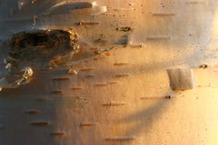 Texture of birch tree at sunset Royalty Free Stock Photography