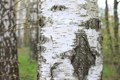 The texture of the birch tree trunk bark in birch grove closeup Stock Image