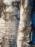The texture of the birch tree with a unique bark pattern stock images