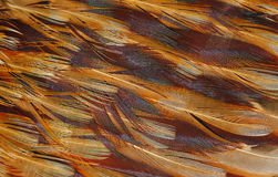 Texture of bird feathers Royalty Free Stock Images