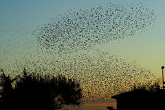 Texture of birds. Flock of birds at sunset in my town Stock Image