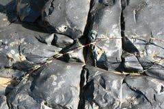 The texture of black volcanic rock and schelushenia plant in Zimbabwe Stock Photo