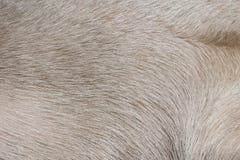Texture blanche de surface de cheveux de chien images libres de droits