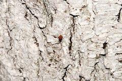 Texture blanchie d'écorce d'arbre avec le scarabée cardinal sur l'écorce multicolore photo libre de droits