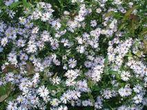 Texture bleu-clair de fleurs Image libre de droits
