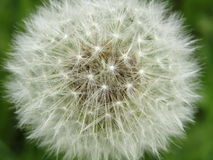 blowball macro photo. Blowball photo  macro funny cute Stock Images
