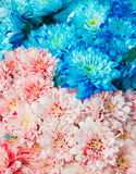 Texture of blue and pink  color chrysanthemum Royalty Free Stock Photo