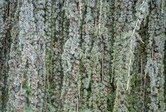 Texture of blue spruce with drooping branches. In high quality Royalty Free Stock Photos