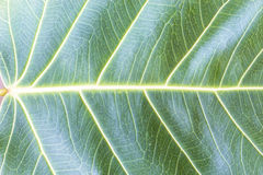 Texture Bodhi or Sacred fig leaf Royalty Free Stock Images