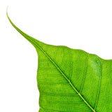 Isolated Bodhi leaf Stock Photography
