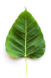 Texture Bodhi or Sacred fig leaf on white background Royalty Free Stock Image