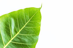 Texture Bodhi or Sacred fig leaf on white background Royalty Free Stock Photography