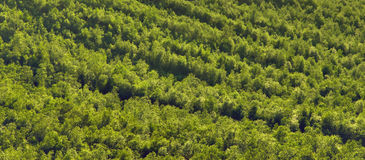 Texture boréale de forêt Images stock