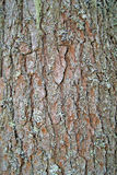 Bark with lichen. Texture brown bumpy pine bark overgrown with lichen Stock Images