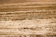 Texture of brown fossilized earth with patches of grass, dried grass. Texture of brown dug up dry ground with beds, sand strips background royalty free stock photography
