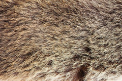 Texture brown Siberian bear Ursidae skins Royalty Free Stock Photos
