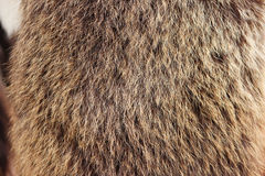 Texture brown Siberian bear Ursidae skins Stock Photography