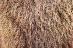 Texture brown Siberian bear Ursidae skins. Texture brown fulvous Siberian bear Ursidae skins Royalty Free Stock Photos