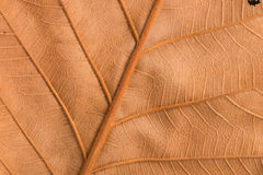 Texture brune sèche de feuille Image libre de droits