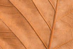 Texture brune sèche de feuille Images stock