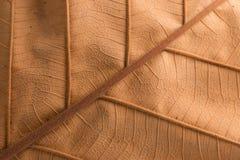 Texture brune sèche de feuille Images libres de droits