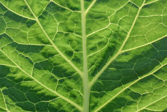 The texture of the cabbage leaf. Beautiful texture green cabbage leaf with white veins Royalty Free Stock Photo