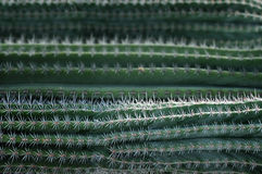 Texture of cactus with needles. Royalty Free Stock Image