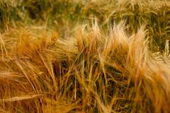 Texture chaude douce de plante cultivée d'orge de blé Images libres de droits