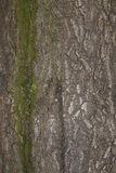 Texture of a chestnut tree bark. Background or texture of a chestnut tree bark with some moss Royalty Free Stock Image