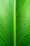 Texture of Cigar plant leaf, green background Royalty Free Stock Photo