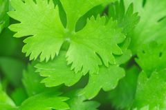 Texture of the cilantro. Close-up photo close-up of useful plant royalty free stock images