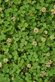Texture of clover grass with flowers stock images