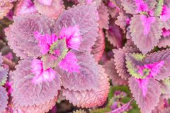 Texture of Coleus leaves. Stock Images