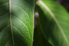 Close up macro shot of a green big leaf royalty free stock photography
