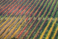 Vineyard in autumn 1. Texture of colored vineyard in autumn Royalty Free Stock Photo