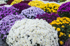 Texture of colorful chrysanthemum flowers Stock Images